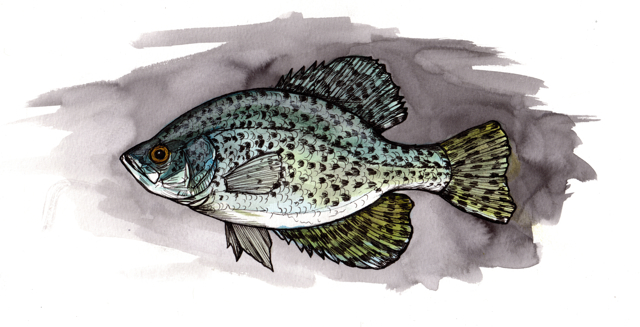 """Crappie   2013   12"""" x 6""""   Pen, watercolor and ink on paper   print available here: http://society6.com/JakeKeeler/Crappie_Print"""