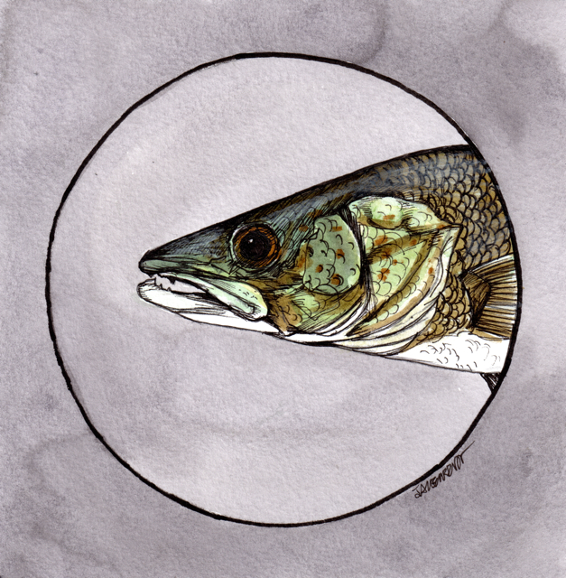 "Walleye | 2013 | 6"" x 6"" 