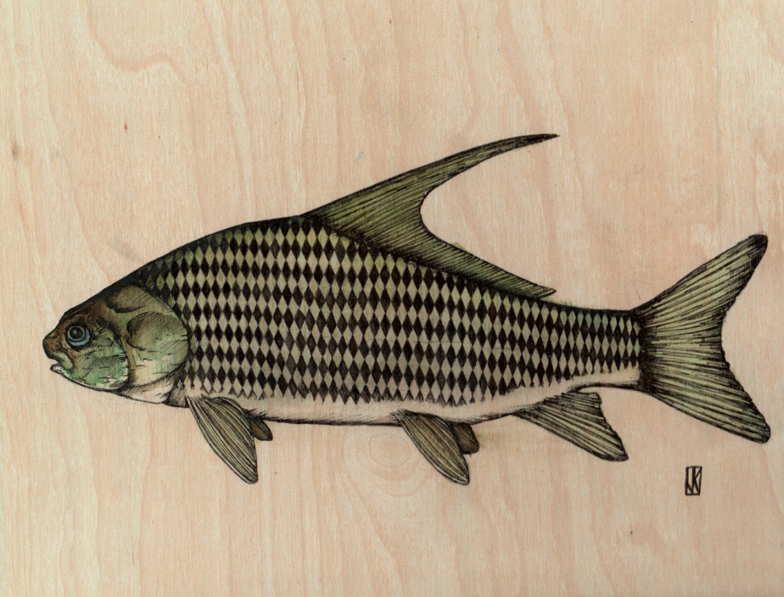"""Quillback 